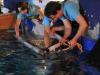 zebrahai wird in das ozeanbecken eingesetzt