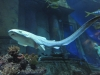 zebrahai zieht seine ersten bahnen