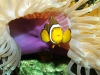clownfisch in anemone