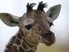 giraffenbaby_hellabrunn_2011-30