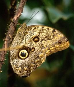 Der Bananenfalter ist der einzige Schmetterling, der sich auf der Schmetterlingsausstellung im botanischen Garten München vermehren darf.